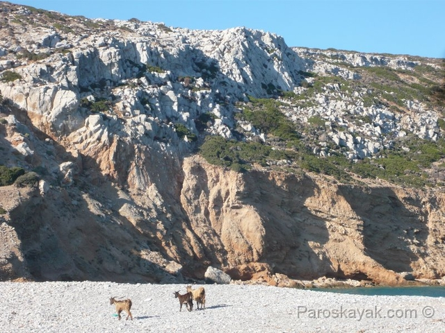 Goats in the beach